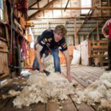 Vettel esquilando a una oveja